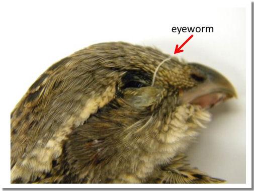quaileyeworm